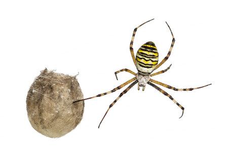 argiope: Wasp Spider, Argiope bruennichi, hanging next to its egg sack against white background Stock Photo