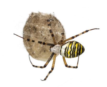 Wasp Spider, Argiope bruennichi, hanging on its egg sack against white background Stock Photo - 17291248