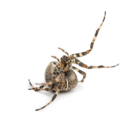 European garden spider, Araneus diadematus, rolling over against white background photo