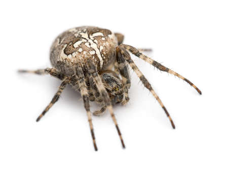 European garden spider, Araneus diadematus, curled up against white background photo