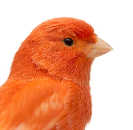 canaria: Close up of a Red canary, Serinus canaria, against white background