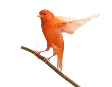perching: Red canary Serinus canaria, perched on a branch against white background Stock Photo
