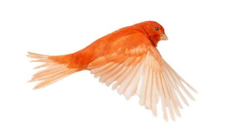 pajaros volando: Red canario Serinus canaria, volando contra el fondo blanco Foto de archivo