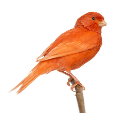 canary: Red canary Serinus canaria, perched on a branch against white background Stock Photo