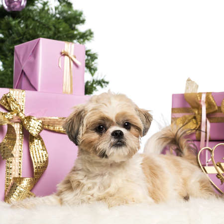 Shih Tzu lying in front of Christmas decorations against white background photo