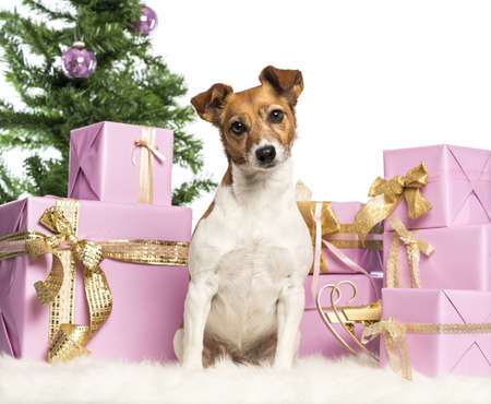 Jack Russell Terrier sitting in front of Christmas decorations against white background Stock Photo - 17296580