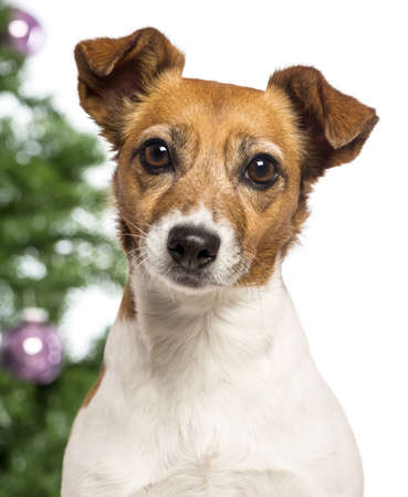 Close up of a Jack Russell Terrier in front of Christmas decorations against white background photo