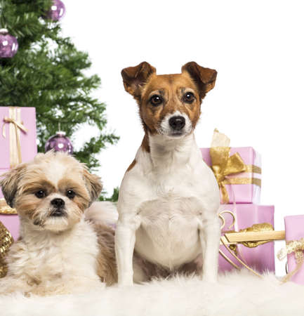Shih Tzu and Jack Russell Terrier sitting in front of Christmas decorations against white background photo