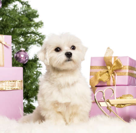 Maltese sitting in front of Christmas decorations against white background photo