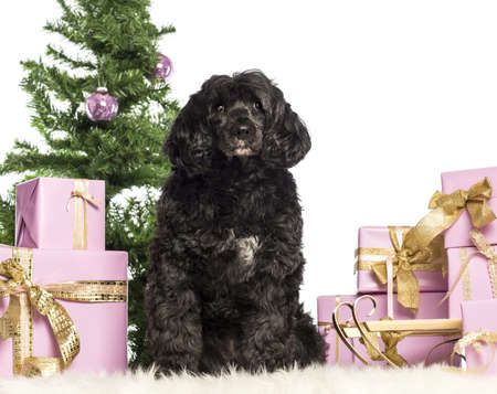 Tibetan terrier sitting in front of Christmas decorations against white background Stock Photo - 17296642