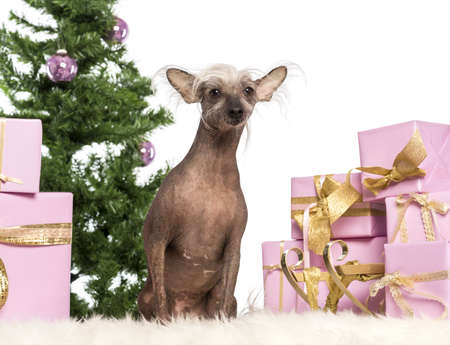 Chinese Crested Dog sitting in front of Christmas decorations against white background photo