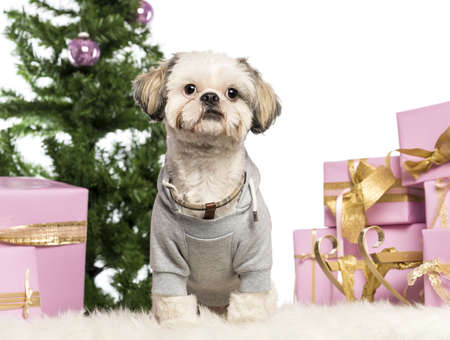 Shih Tzu dressed and sitting in front of Christmas decorations against white background photo