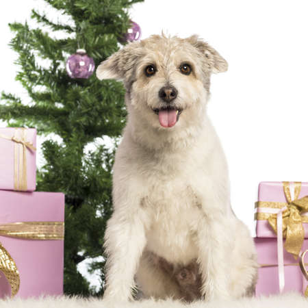 Crossbreed sitting in front of Christmas decorations against white background Stock Photo - 17291597