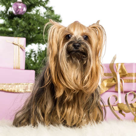 Yorkshire Terrier sitting in front of Christmas decorations against white background Stock Photo - 17291550