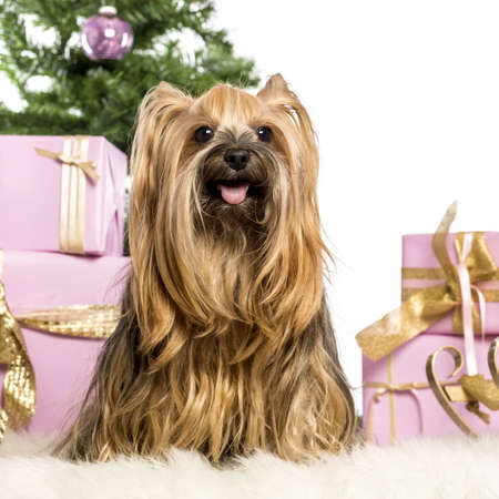 Yorkshire Terrier sitting in front of Christmas decorations against white background photo