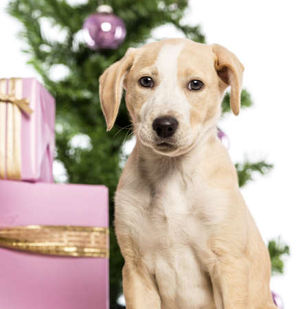 labrador christmas: Close up of a Labrador in front of Christmas decorations against white background