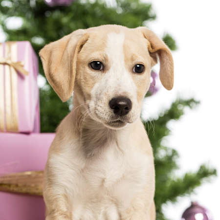 Close up of a Labrador in front of Christmas decorations against white background photo