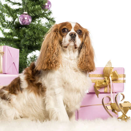 Cavalier King Charles sitting in front of Christmas decorations against white background photo