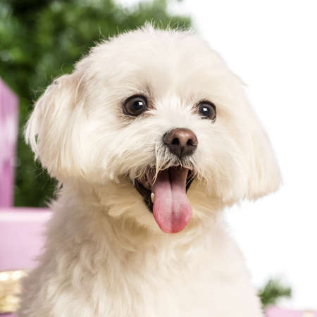 white maltese: Close up of a Maltese in front of Christmas decorations against white background