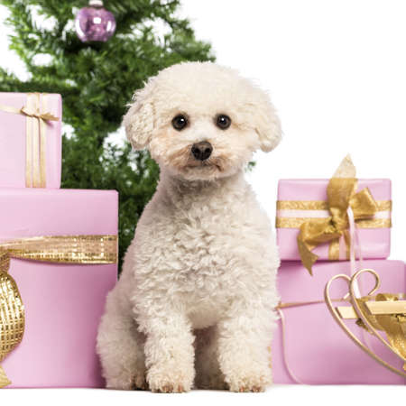Maltese sitting in front of Christmas decorations against white background Stock Photo - 17291829