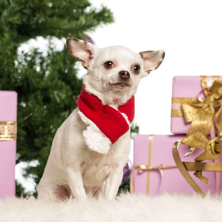 Chihuahua sitting and wearing a Christmas scarf in front of Christmas decorations against white background photo