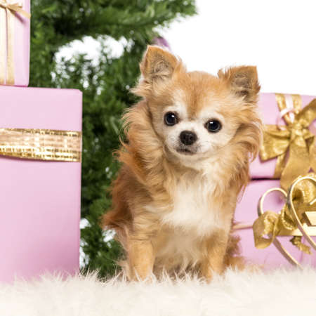 Chihuahua sitting in front of Christmas decorations against white background photo