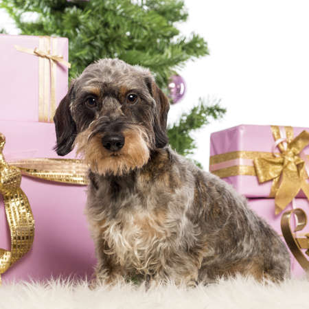 Dachshund sitting in front of Christmas decorations against white background Stock Photo - 17291841