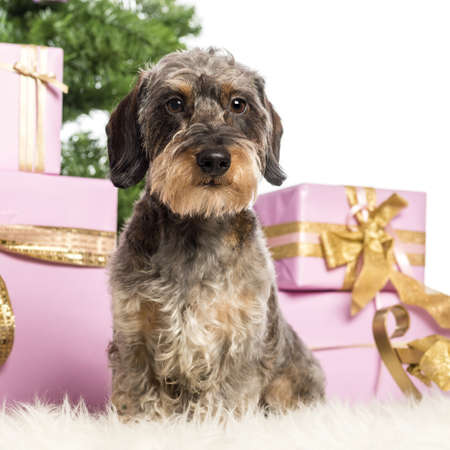 Dachshund sitting in front of Christmas decorations against white background Stock Photo - 17291726