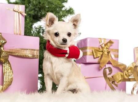 Chihuahua sitting and wearing a Christmas scarf in front of Christmas decorations against white background Stock Photo - 17292221