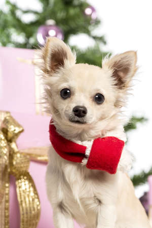Chihuahua sitting and wearing a Christmas scarf in front of Christmas decorations against white background Stock Photo - 17296644