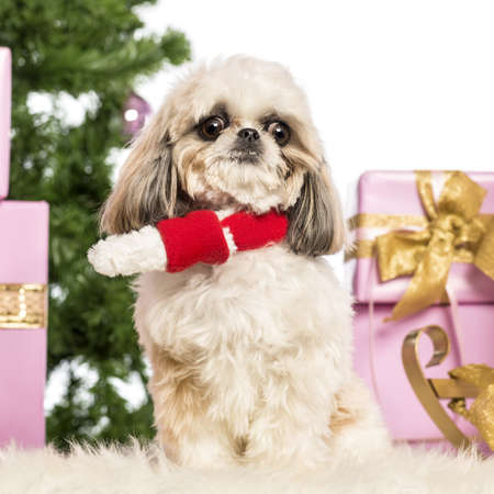 Shih Tzu sitting and wearing a Christmas scarf in front of Christmas decorations against white background Stock Photo - 17291827