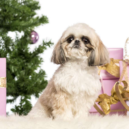 Shih Tzu sitting in front of Christmas decorations against white background Stock Photo - 17291771