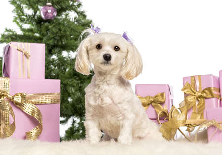 Maltese sitting in front of Christmas decorations against white background Stock Photo - 17296526