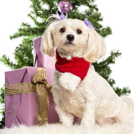 Maltese sitting and wearing a Christmas scarf in front of Christmas decorations against white background Stock Photo - 17291815