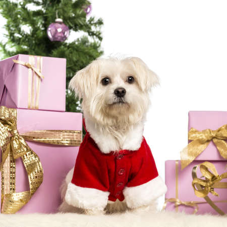 Maltese sitting and wearing a Christmas suit in front of Christmas decorations against white background Stock Photo - 17291767