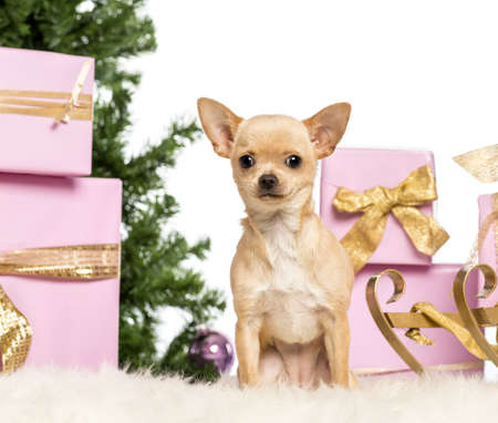 Chihuahua sitting in front of Christmas decorations against white background Stock Photo - 17291622