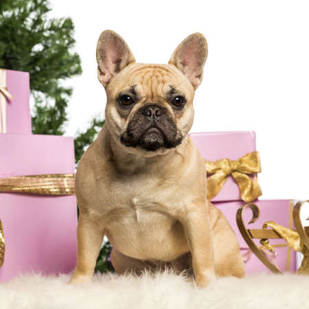 French Bulldog sitting in front of Christmas decorations against white background Stock Photo - 17291818