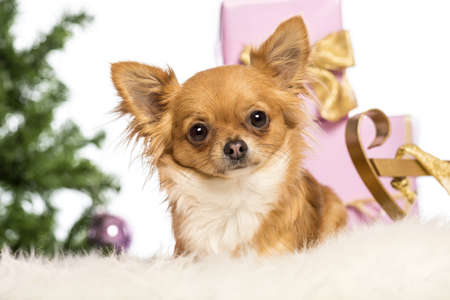 Chihuahua lying in front of Christmas decorations against white background photo