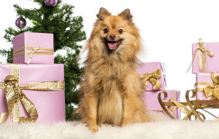 Pomeranian sitting in front of Christmas decorations against white background Stock Photo - 17296673