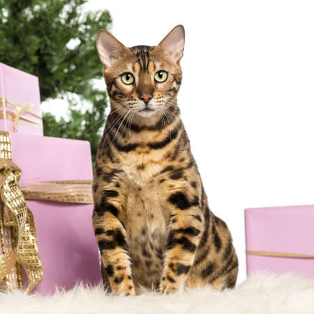 Bengal sitting in front of Christmas decorations against white background photo