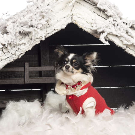 Chihuahua sitting and wearing a Christmas suit in front of Christmas nativity scene with Christmas tree and snow against white background photo