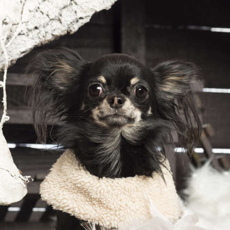 Close up of a Chihuahua in front of Christmas nativity scene with Christmas tree and snow photo