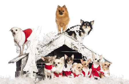 Group of Chihuahuas sitting and standing in front and on Christmas nativity scene with Christmas tree and snow against white background photo