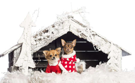 Chihuahuas sitting and wearing Christmas suits in front of nativity scene with Christmas tree and snow against white background photo