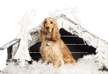 English Cocker spaniel sitting in front of Christmas nativity scene with Christmas tree and snow against white background photo