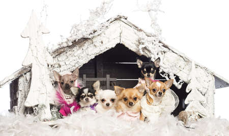 Chihuahuas sitting and dressed in front of Christmas nativity scene with Christmas tree and snow against white background photo