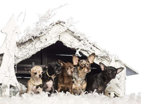 Chihuahua sitting in front of Christmas nativity scene with Christmas tree and snow against white background photo