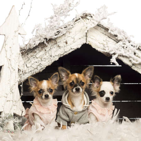 Chihuahuas dressed and sitting in front of Christmas nativity scene with Christmas tree and snow against white background photo