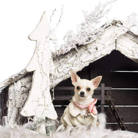 Chihuahua dressed and sitting in front of Christmas nativity scene with Christmas tree and snow against white background photo