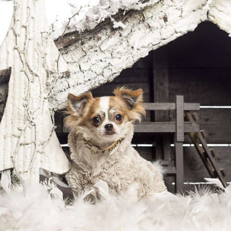 Chihuahua dressed and sitting in front of Christmas nativity scene with Christmas tree and snow photo